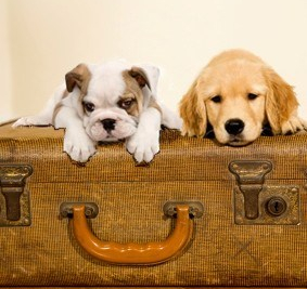 Two dogs on suitcase